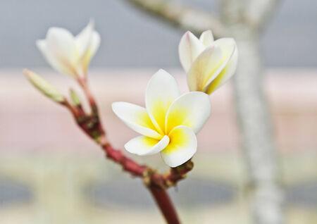 five petals: The plumeria has five petals, yellow middle, outside white.Plumeria. Stock Photo