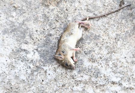 dead rat: Rat die (Dead rat ) on concrete Stock Photo
