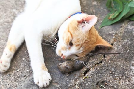 dead rat: Rat die (Dead rat ) and cat on concrete.