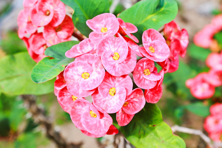 flower thorns: Crown of thorns flower.