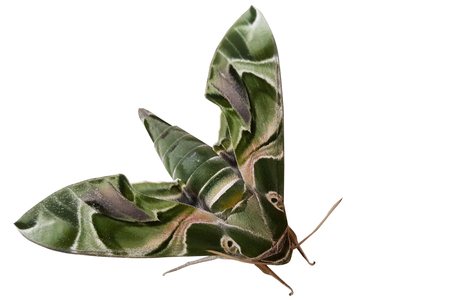 Daphnis nerii, the oleander hawk-moth or army green moth is of the family Sphingidae. The moth isolate on white background.