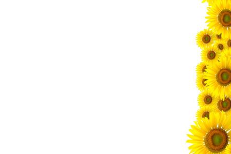 girasol: Fondo del girasol por presentationSunflower BackgroundSunflower Foto de archivo