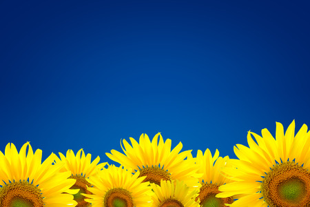 efflorescence: Field of sunflowers and blue background