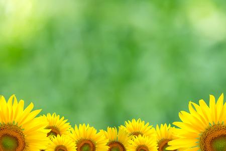 Zonnebloem Achtergrond voor presentationSunflower BackgroundSunflower