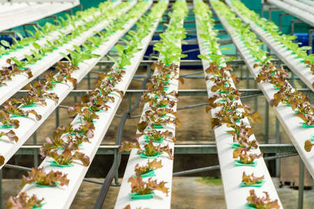 Organic hydroponic vegetable ,Cultivation hydroponic green vegetable in farm plant ,Hydroponics method of growing plants using mineral nutrient solutions