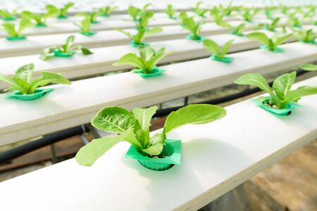 grow food: Organic hydroponic vegetable ,Cultivation hydroponic green vegetable in farm plant ,Hydroponics method of growing plants using mineral nutrient solutions