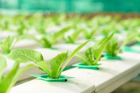Organic hydroponic vegetable Stock Photo