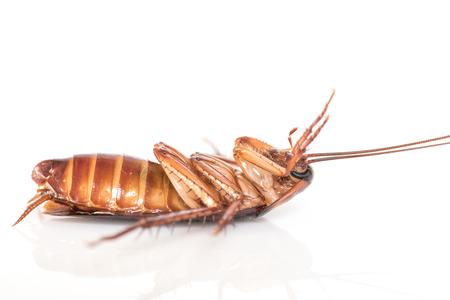 pest control: cockroach