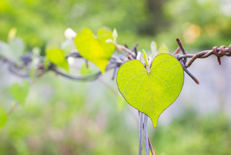 defocused of green leaf heart shape on Rust barbed wire fence