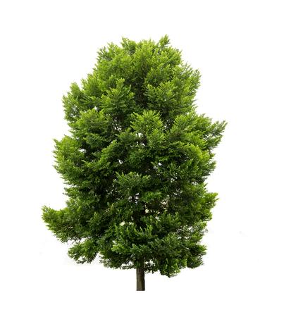 Drzewa na białym tle, drzewa tropikalne izolowane używane do projektowania, ze ścieżką przycinającą Zdjęcie Seryjne