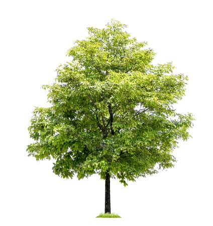 Arbres isolés sur fond blanc, arbres tropicaux isolés utilisés pour la conception Banque d'images