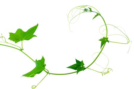 Green leaves vine plants isolate on white background. File contains with clipping path. Foto de archivo