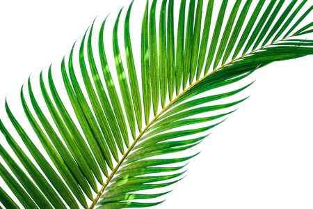Green leaves of palm tree isolated on white background. File contains with clipping path.