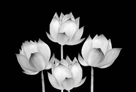 Lotus flower black and white color isolated on black background. File contains with clipping path. 免版税图像