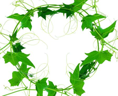 Green leaves vine plants isolate on white background. File contains with clipping path. 免版税图像