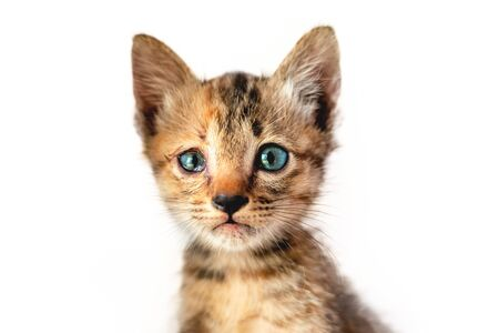 Selective focus / blue eye kitten isolated on a white background 免版税图像