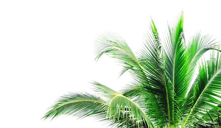 Leaves of coconut tree isolated on white background. File contains with clipping path. With blank copy space.