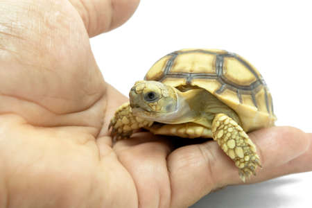 Small turtle on the hand isolated on a white background.