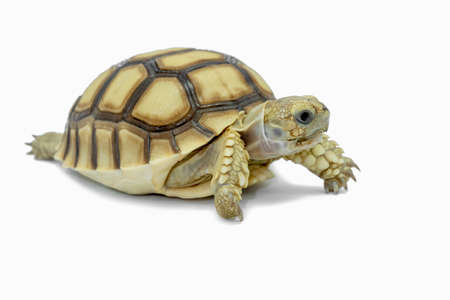 Turtle isolated on a white background. Standard-Bild