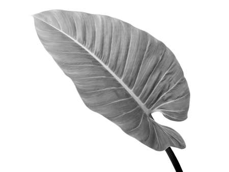 Black and white leaves color isolated on white background. The tropical forest plant. Standard-Bild