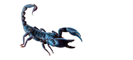 Scorpion isolated on a white background.