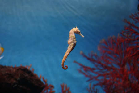 seahorse: young seahorse in nature underwater