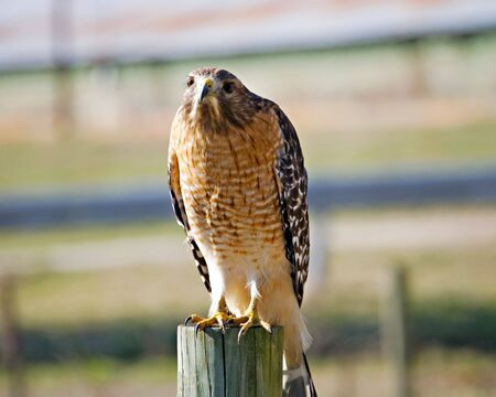 A wild hawk sitting on a fence post looking toward the camera. Stock Photo - 8137595