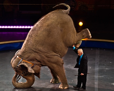 Atlanta, GA, USA, February 26, 2011 - An elephant standing on her trunk during a performance of the Ringling Brothers and Barnam and Bailey Circus.
