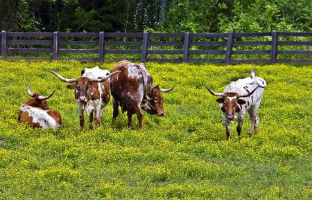 Longhorn cows in a field of yellow wildflowers. photo