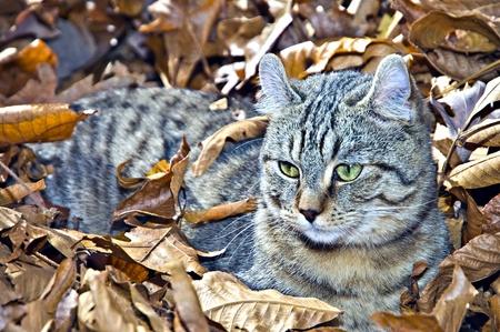 animal pussy: A cute Highland Lynx kitten lying in leaves.