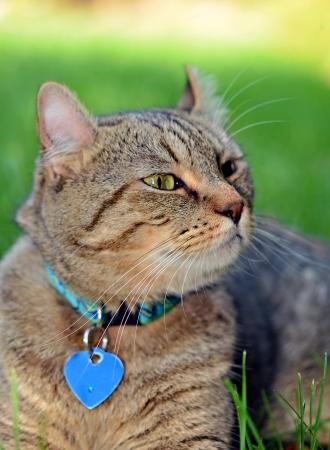 highlander: Un gato gris Highlander Lynx en la hierba olfateando el aire de algo que perseguir.