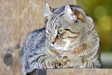 highlander: Un gris atigrado gato Highlander Lynx en la barandilla del porche. Foto de archivo