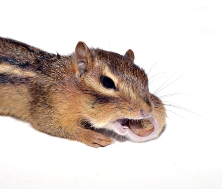 ardilla: Una ardilla pequeña con una tuerca en su boca.