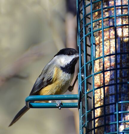 capped: A small bird on a metal feeder ready to eat