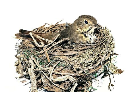 Small bird in a nest on a white background