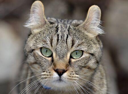 highlander: Highland Lynx gato facial expresión.