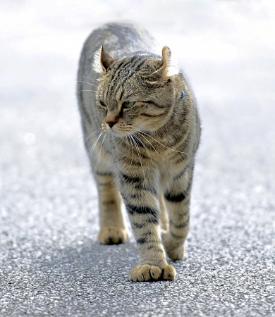 highlander: Un hermoso gato gris atigrado Highlander Lynx caminar.