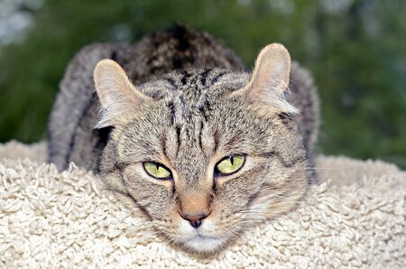 highlander: Highlander Lynx gatto sdraiato sulla sua torre.