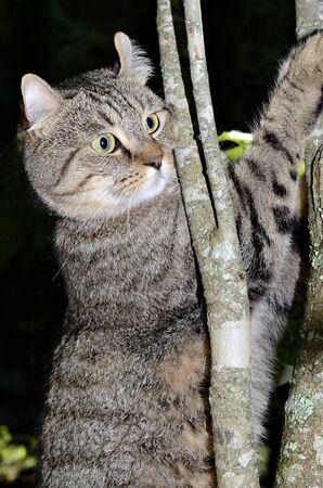 highlander: Un hermoso gato atigrado Highlander lince en un �rbol, muy curiosa expresi�n Foto de archivo