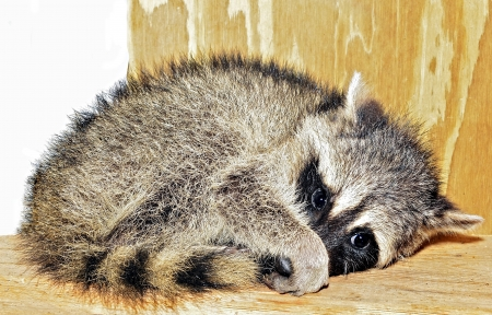 A baby racoon caught hiding on a shelf in a storage shed