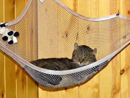 spoiled: A Highlander Lynx cat resting in his net hammock. Stock Photo