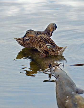 dabbling: Two ducks standing on a log preening, the sky is reflected in the water.