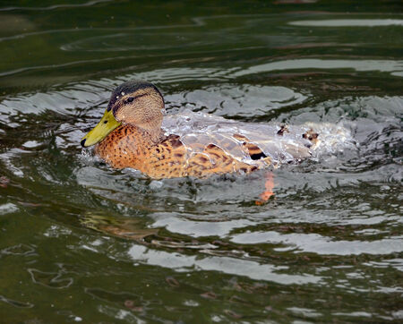 dabbling: A wood duck that has just come up from a dive, its back is covered with a sheet of water. Stock Photo