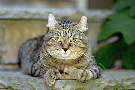 highlander: Highland Lynx gato acostado en escalones de piedra.