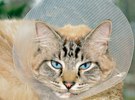Siamese Balinese mixed breed cat wearing a cone after surgery. Stock Photo