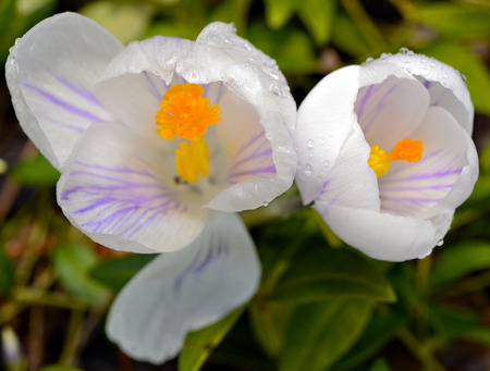 White Crocus in a Garden after a Rain Stock Photo