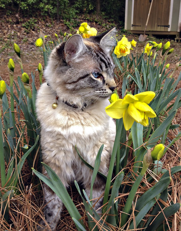 A cute Siamese, Balinese mixed breed cat sitting in a flower garden.
