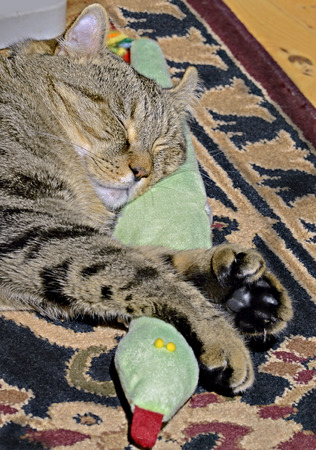 A Highland Lynx cat sleeping on an oriental rug with a stuffed snake toy. Stock Photo