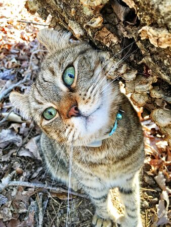 An adorable expression on this Highland Lynx cats face. Hes standing under a tree limb looking up. Stock Photo