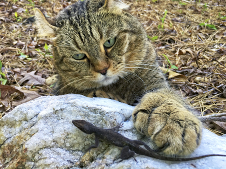 A beautiful Highland Lynx cat curious about a lizard on a rock.  He has large polydactyl paws. Stock Photo
